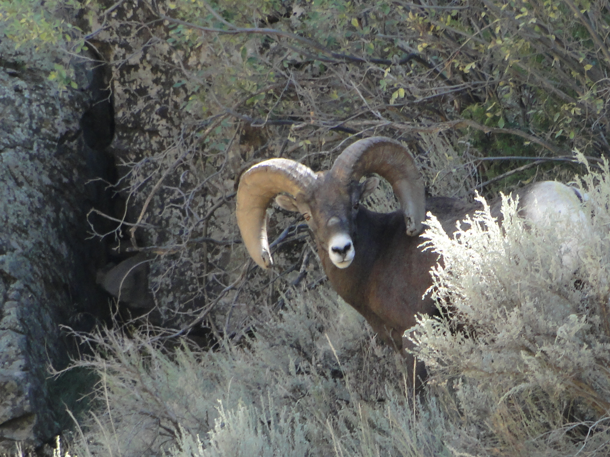 Bighorn sheep in Taos Canyon