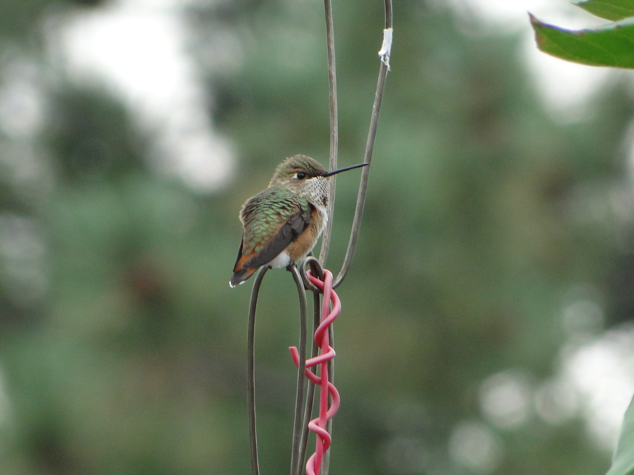 Hummingbird in back yard