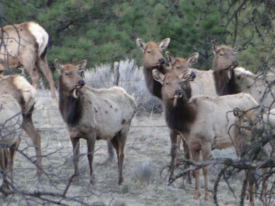 Elk in the back yard