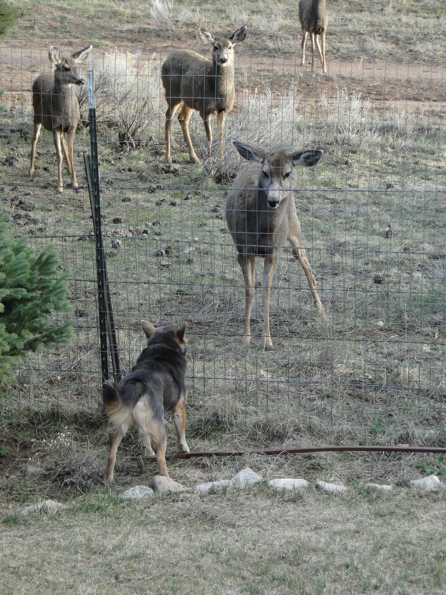 Mule deer outside back yard