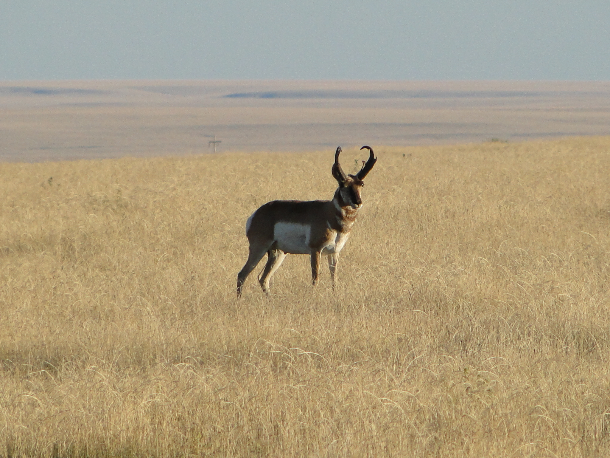 Pronghorn antilope at Cimmaron