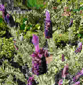 French Lavender (PC Creations Leeds)