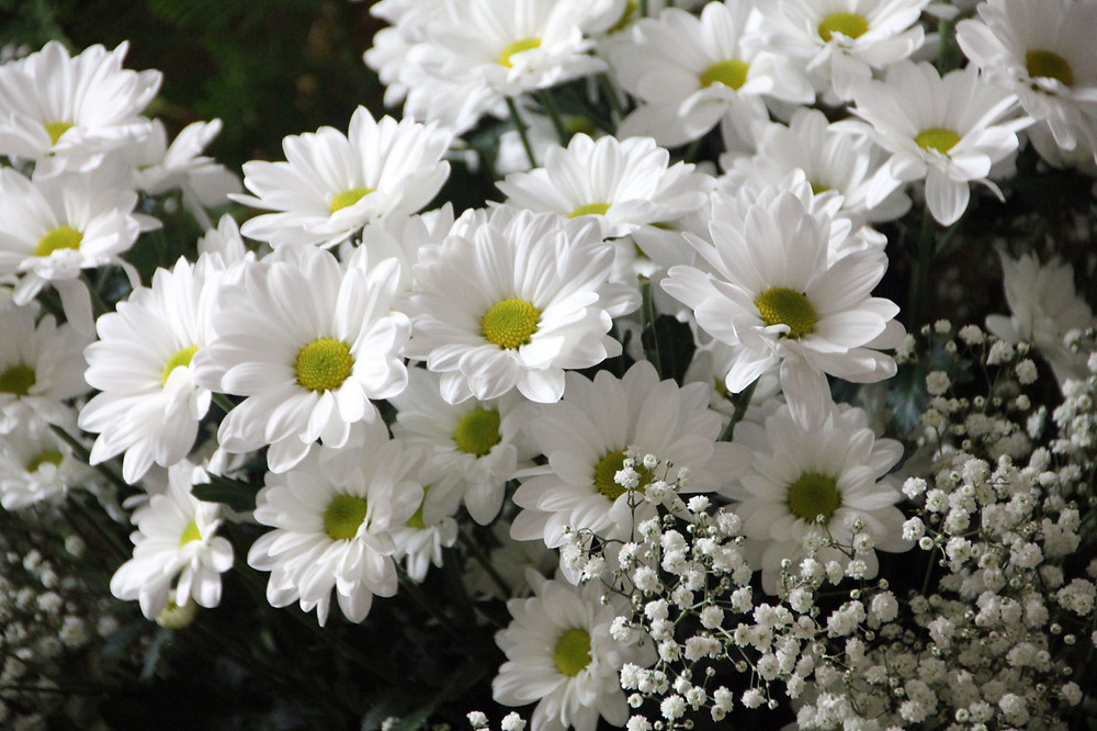 Chrysanthemums and Gypsophila