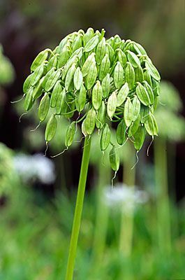 Agapanthus seed head / Image from pinterest by Andy Small Photography