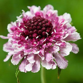Pink Scabiosa flower