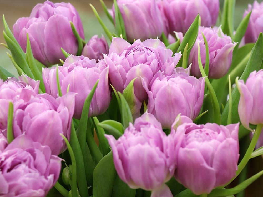 Double headed tulips, image courtesy of Pixabay.com