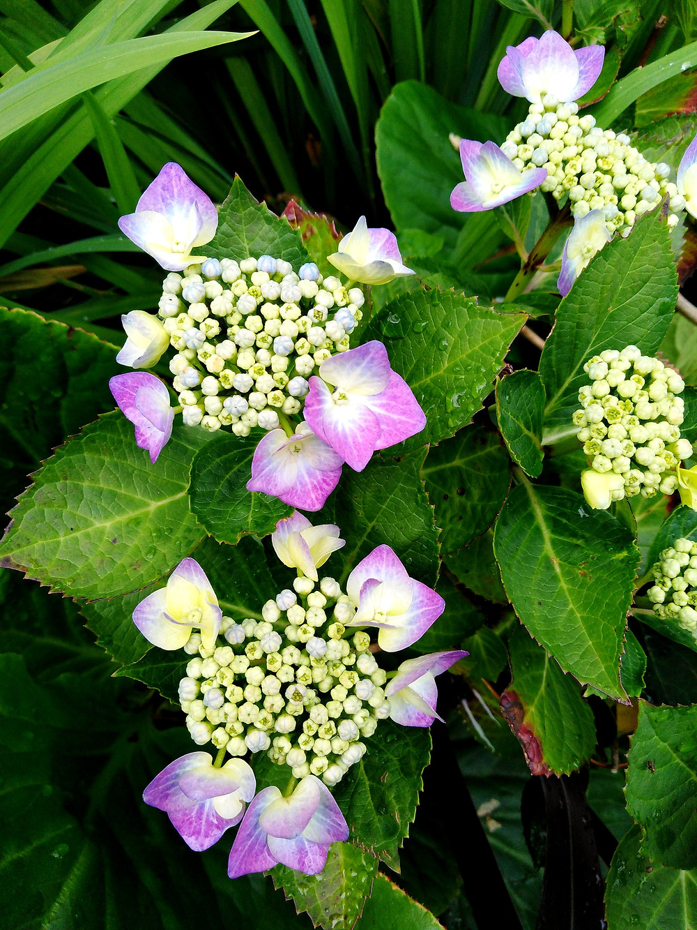Purple Hydrangea Macrophylla (PC Creations Leeds)