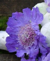 Scabiosa Flower, part of an image from Bouquetweddingflower.com