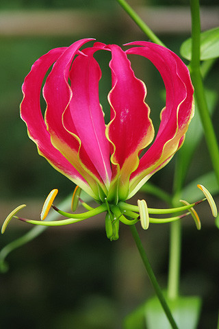 Gloriosa Lily / Flame Lily (Image courtesy of Pexels)