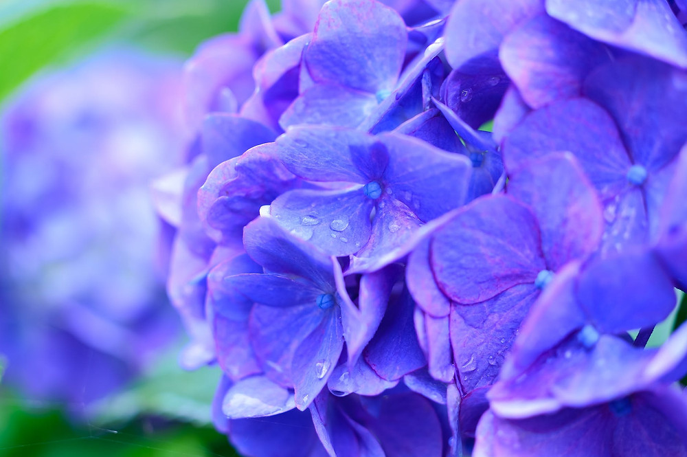 Hydrangea image courtesy of PEXELS