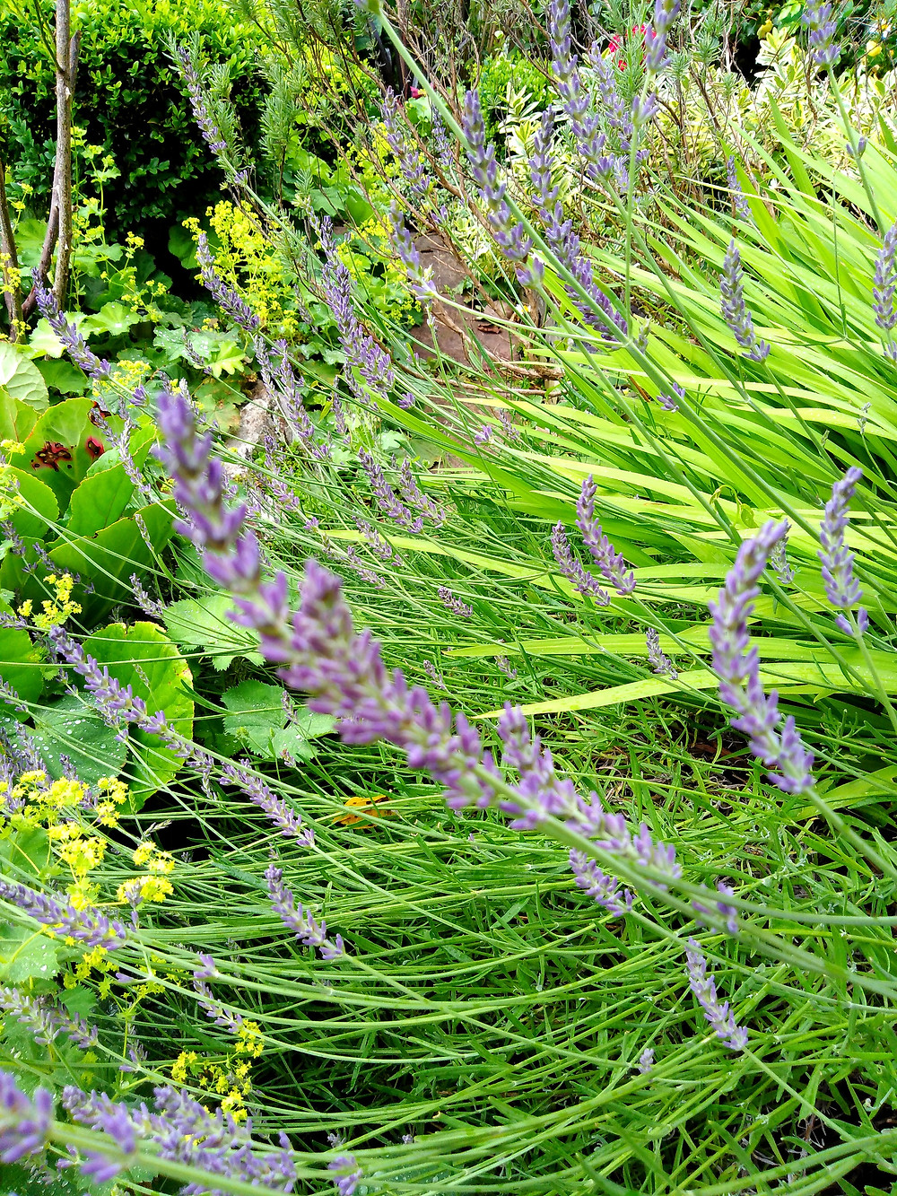 English Lavender (PC Creations Leeds, Floral Design Service)