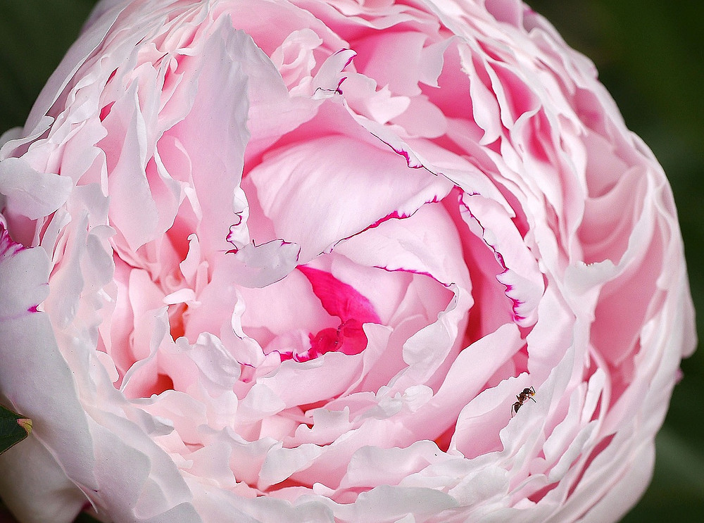 Peony Fresh Flower Tips by PC Creations Leeds