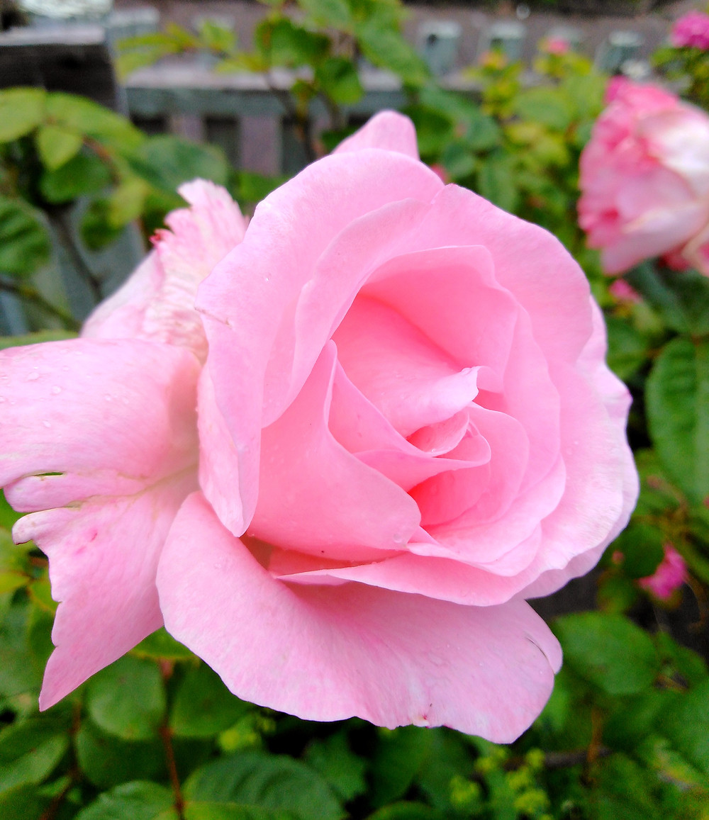 Pink Rose Bush (PC Creations Leeds)