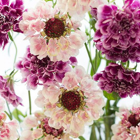 GROWING YOUR OWN WEDDING FLOWERS - Scabiosa