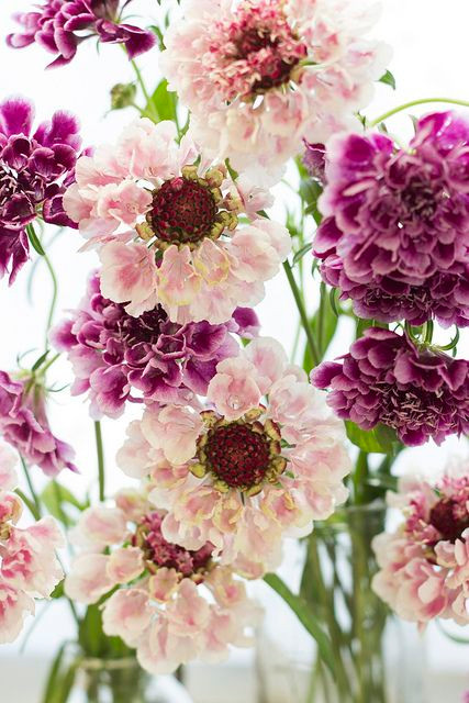 Scabiosa / Pin cushion flowers