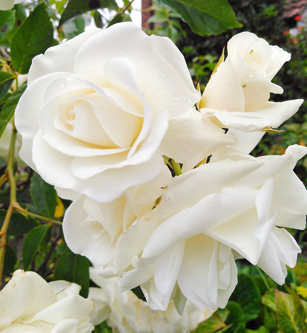 Ivory Rose (PC Creations Leeds)