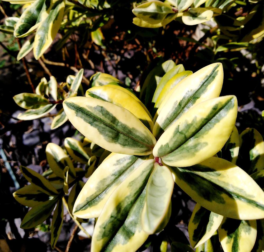Hebe (variegated)