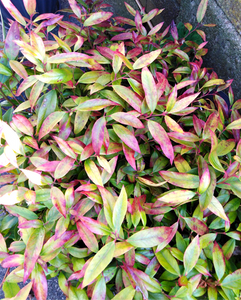 Leucothoe leaves