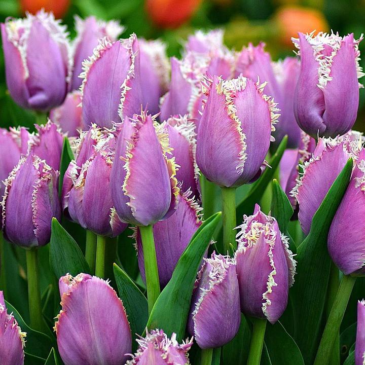 Frilly edged tulips, image courtesy of Pixabay.com