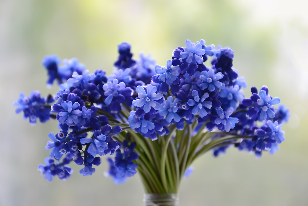 Grape Hyacinth Bouquet image courtesy of freeimages
