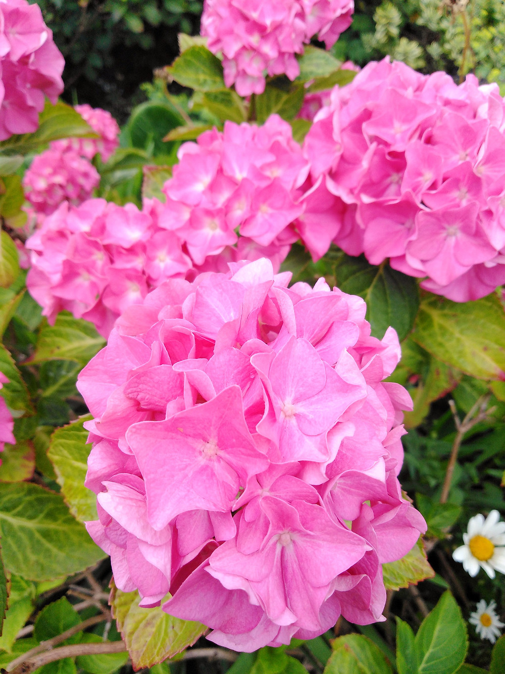 Pink Hydrangea Macrophylla (PC Creations Leeds))
