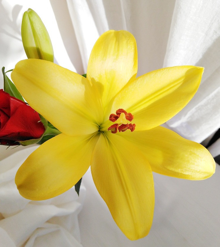 Yellow Lily Fully Opened