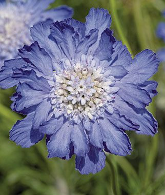 Pastel Blue Scabiosa / Pin cushion flower