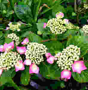 Pink Hydrangea Macrophylla (PC Creations Leeds)