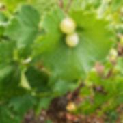 Frondosas cepas de uva Moscatel de Alejandría en la Finca la Caseta de Uvas Cabrera en Benissa, Marina Alta (Alicante) España. Fotos de Photoperiplo que nos encanta viajar para fotografiar.