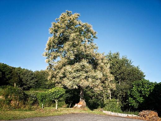 Así andan en verano los castaños en Nogueira de Ramuín, Luintra, en plena Ribeira Sacra (Galicia, Spain). Photoperiplo anduvo por allí porque nos encanta la fotografía y viajar.
