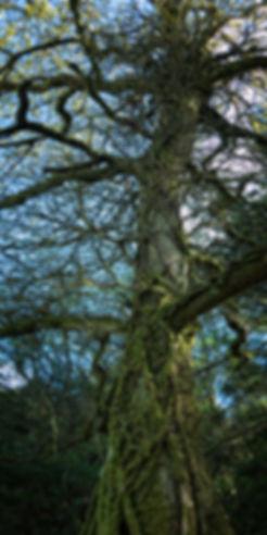 Imponentes y viejos árboles podrás fotografiar en A Fraga Vella en Mondoñedo (Lugo) Galicia