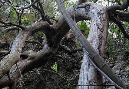 Árboles entralazados en la Font del Cossi en La Font de la Figuera en Valencia
