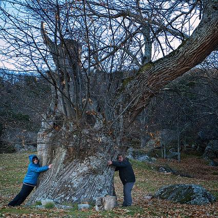 Esto es un castaño en toda regla en Neila de San Miguel (Ávila)