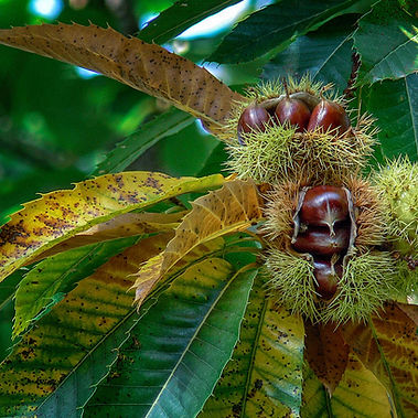 Los castaños centenarios de Parada de Sil en Orense siguen dando su preciado fruto: la castaña. Foto de Photoperiplo
