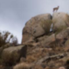 Desde la carrtera AV-941 es fácil observar a la emblemática cabra hispánica.