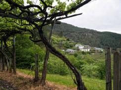 Mimadas cepas dan vinos generosos como estos DPieiga... en Negueira de Muñiz (Lugo)