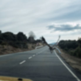 Buitre leonado en la carretera AV-941 cerca del Barco de Ávila