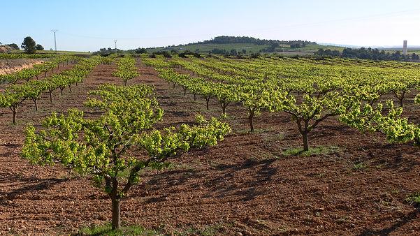 En primavera los albericoqueros en los Alhorines de Villena (Alicante) ya muestran sus frutos. Esos verdes los fotografió Photoperiplo.