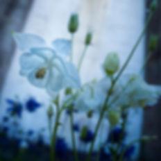 Preciosas flores (Aquilegia vulgaris L.) en los alrededores de la iglesia de Santiago en Mondoñedo (Lugo) Galicia Spain