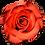 Thumbnail: Orange Roses