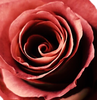 Terracota Roses