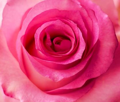Medium Pink Roses