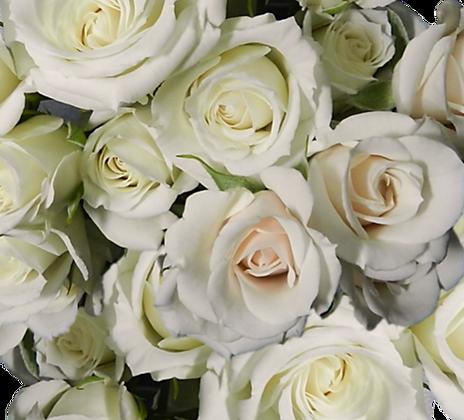 Spray Roses White