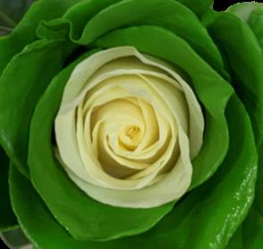Energy Roses