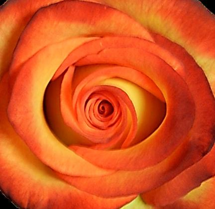 Bi-Color Yellow Roses