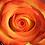 Thumbnail: Bi-Color Yellow Roses
