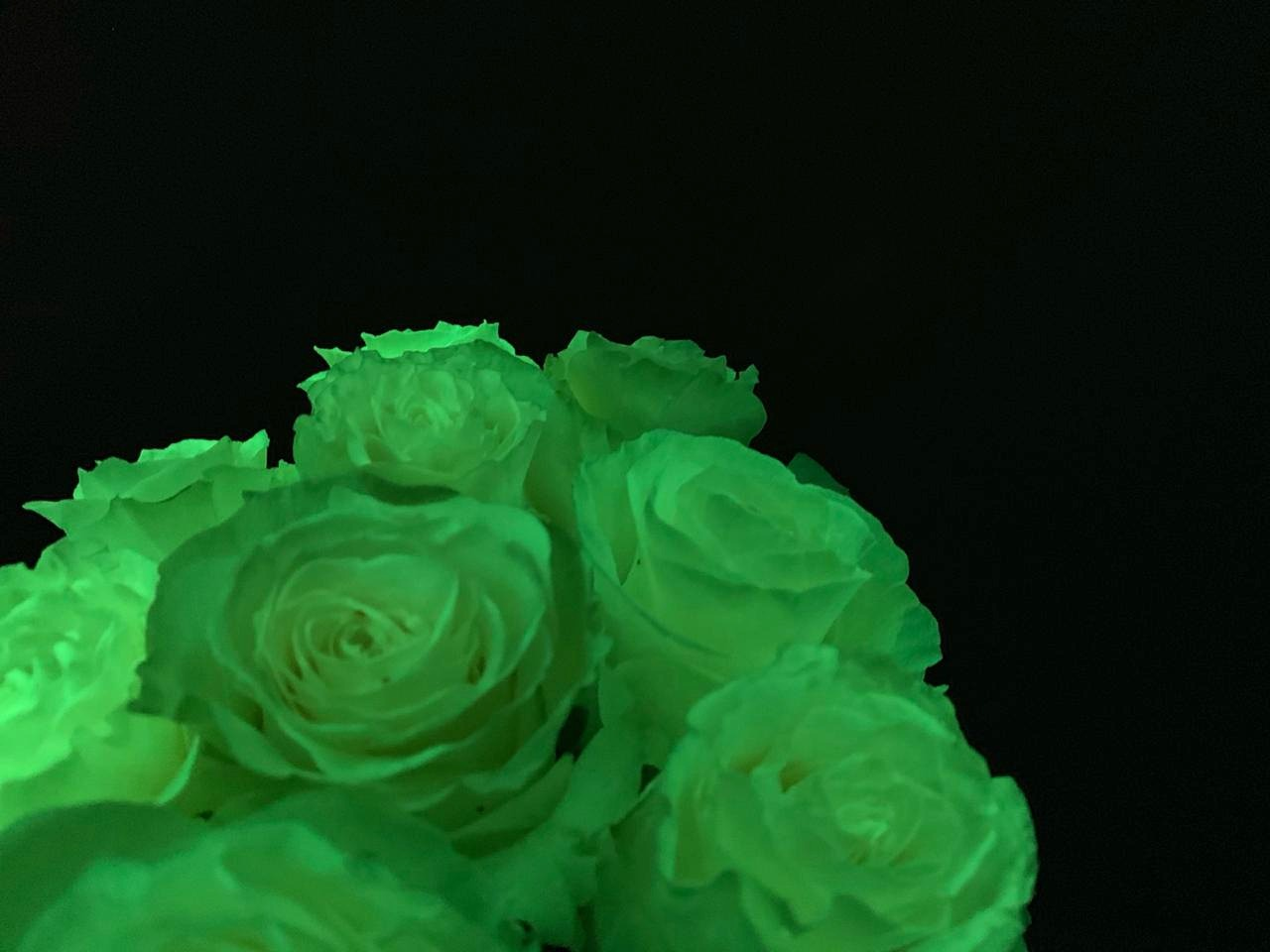 Fluorescent (Glow in the Dark Roses)