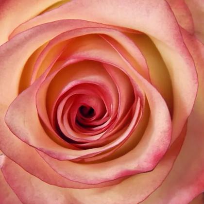 Bi-Color Pink Roses