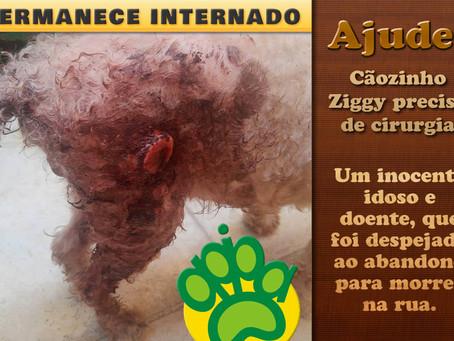 Cãozinho Ziggy: piora da enfermidade demanda cirurgia urgente
