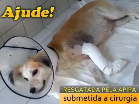 Ajude! Cadelinha doente é resgatada e submetida a cirurgia
